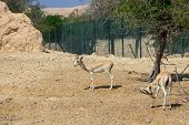 Two sand gazelle (Gazella marica) in nature reserve. Island Sir Bani Yas, UAE. poster