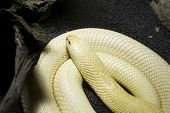 Albino Monocle Cobra poster