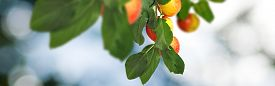 Image Of Sweet Apples On The Tree, Ripe Apples On A Branch In The Garden Closeup
