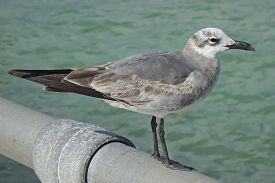 Close-up Image Of Juvenile Laughing Gull Standing On Handrail.