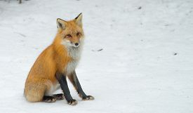 Red Fox - Vulpes Vulpes, Healthy Specimen In His Woodland Habitat, Relaxes, Sits Down And Seems To P
