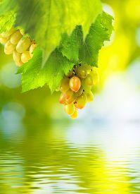 Isolated Image Of The Grapes Above The Water Closeup