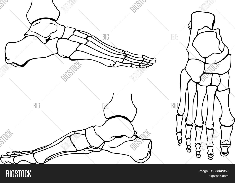 Vector y foto Huesos Del Pie Humano | Bigstock