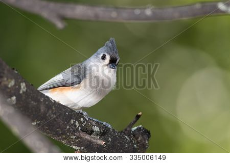 Tufted Titmouse Perched High In A Tree