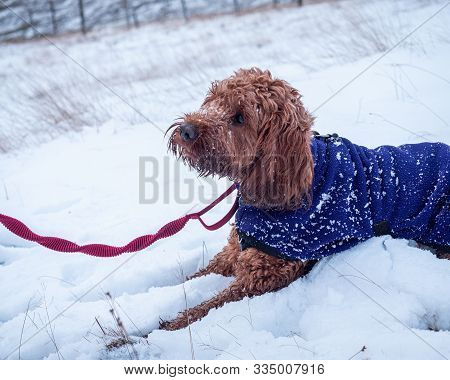 A Young Cockapoo Lying In The Snow