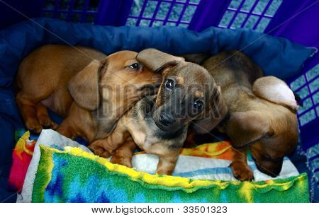 Dachshund Puppy Dogs Three