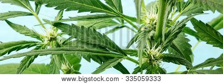Cannabis Buds, Panoramic Shot. Early Flowering Stage With White Stigmas, On A Blue Background, With