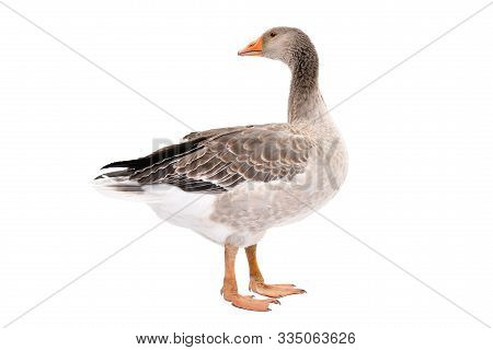 Beautiful Goose, Side View, Standing Isolated On White Background