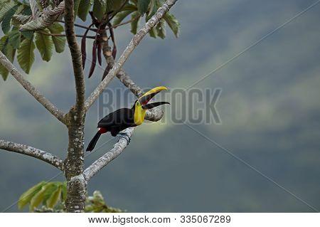 Keel -billed Birds Laid On Tree Branch.