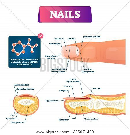 Nail Anatomy Structure Diagram, Vector Illustration. Finger Cross Section Educational Scheme With Cu