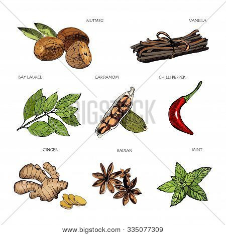 Hand Drawn Colorful Spices. Vanilla And Pepper, Cardamom And Badian , Nutmeg And Bay Leaves, Mint An
