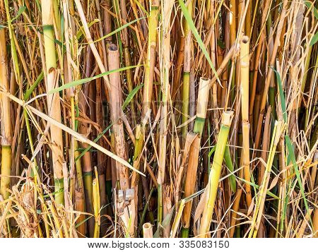 Natural Texture Of Dry Growing Bamboo Tubes. Floral And Herbal Pattern Of Clipped Cane Plants