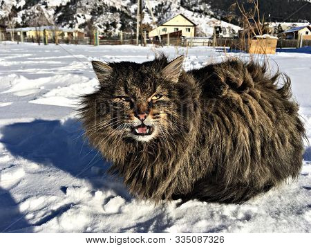Sibirian Cat Sits On The Snow In The Village