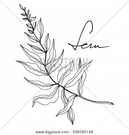 Vector Fern Leaf. Leaf Plant Botanical Foliage. Black And White Engraved Ink Art. Isolated Fern Illu