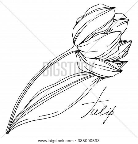 Vector Tulip Floral Botanical Flower. Black And White Engraved Ink Art. Isolated Tulips Illustration