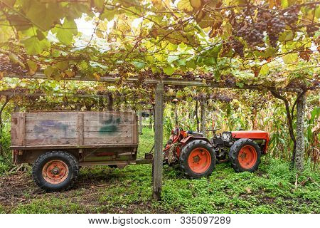 Tractor In The Vineyard. Winery Harvest. Grape Picker Truck Transporting Grapes From Vineyard To Win