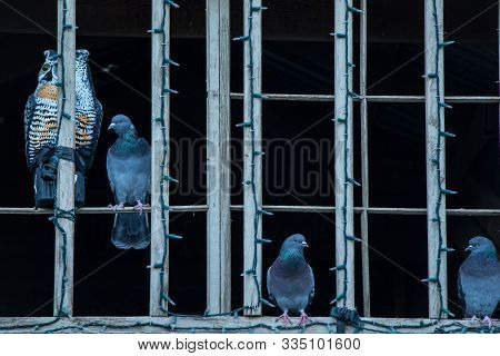 Three Pigeons Perched Next To An Owl Decoy In The Window Of A Church.
