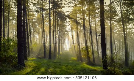 Sunbeams Shining Through The Pine Trees Of A Forest In The Ardennes Region In Belgium During A Winte