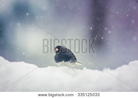 Small Dark-eyed Junco Gray American Sparrow Bird On Top Of Snow Bank During Snow Storm