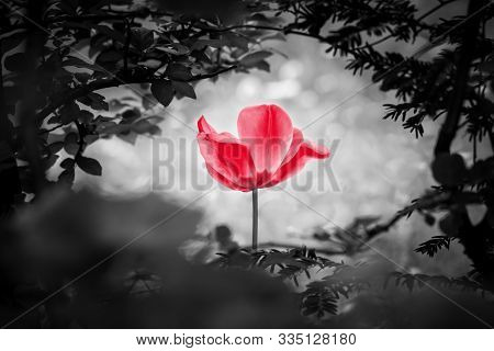 Reddish Tulip Soul In Black White For Peace Heal Hope. The Flower Is Symbol For Power Of Life And Mi