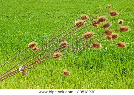 Dried Thistle Plant Bent Over Wheat Field