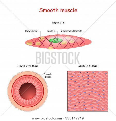Structure Of Smooth Muscle Fibers. Anatomy Of Myocyte. Background Of Smooth Muscle Tissue. Set Of Ve