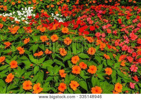 Flower Carpet Of Impatiens X Hybrida Hort, Popular Hybrid Specie Of Snapweed Flowers, Air Purifying