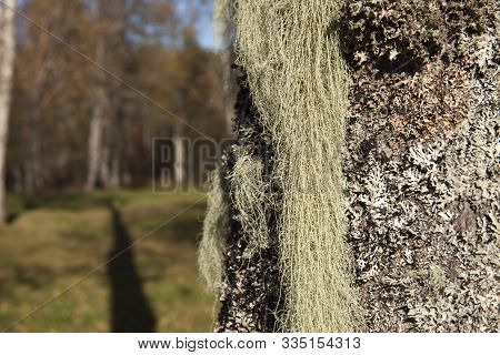 Long, Green Lichen On An Alder Trunk. Usnea Dasypoga, Shrub-like, Beard-like.