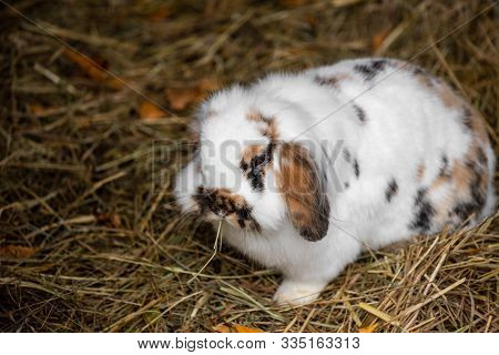 Full Body Of White-black-brown Domestic Pygmy Rabbit. Photography Of Lively Nature And Wildlife.