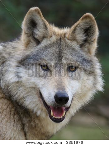A Closeup capture of the Mexican Wolf poster