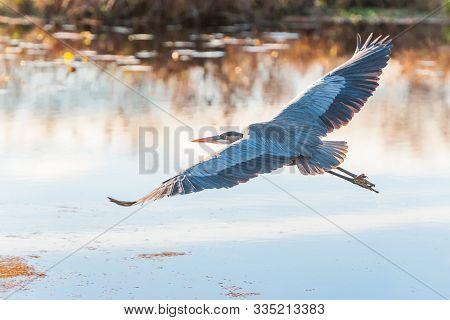 Great Blue Heron (ardea Herodias) In Flight.bombay Hook National Wildlife Refuge.delaware.usa