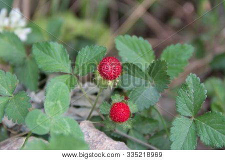 Detail Of The Small Berries Of Inedible Garden In The Spring