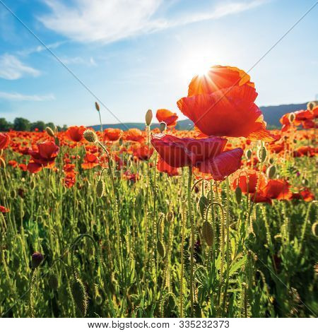 Poppy Field On A Sunny Afternoon.  Close Up Scenery With Red Flowers In Mountains. Bright Blue Sky W