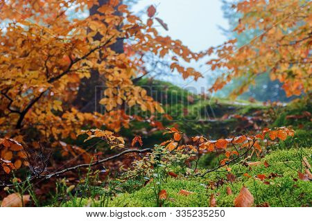 Forest Scenery On A Hazy Autumn Day. Tight Close Up Of Twigs In Colorful Foliage. Mysterious Atmosph