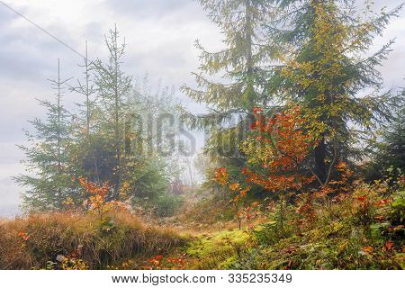 Forest Scenery On A Hazy Autumn Day. Srubs Near Spruce Trees In Colorful Foliage. Mysterious Atmosph