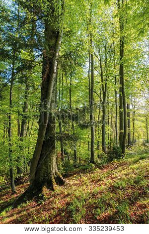 Beech Forest At Sunrise In Sunny Weather. Nature Background In Morning Light. Tall Trees In Green Fo