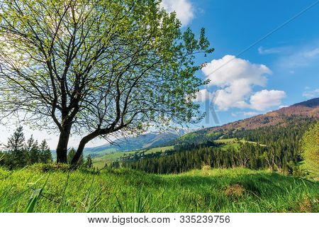 Tree On The Grassy Meadow In Mountains. Beautiful Warm Sunny Day. Wonderful Springtime Landscape. Vi