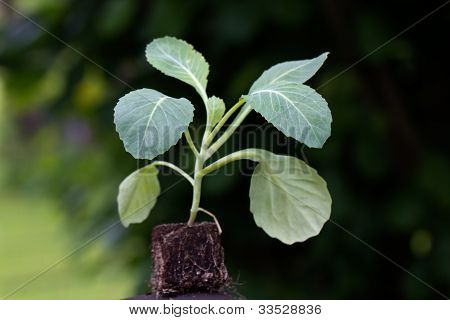 Seedling , cabbage plant , a close up shot