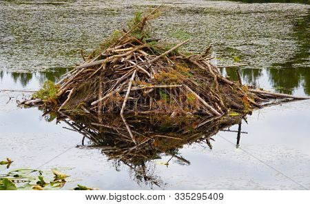 Close Up Of A Beaver Lodge Sitting On A Still Lake Surrounded By Water Lilies.