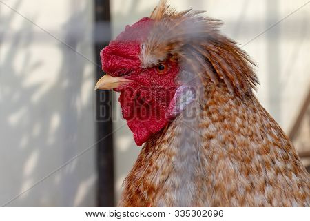 A Head Of A Brown Cock With Big Red Comb Close Up Behind Metal Fence Of A Cage In The Farm