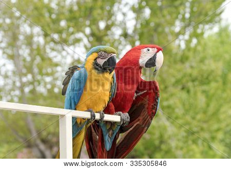 Two Multi-colored Macaw Parrots Together On A Perch