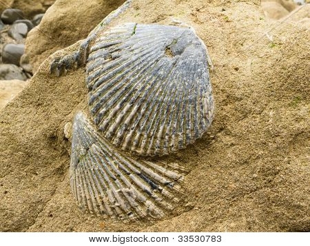 Fossilized sea shells embedded in sandstone