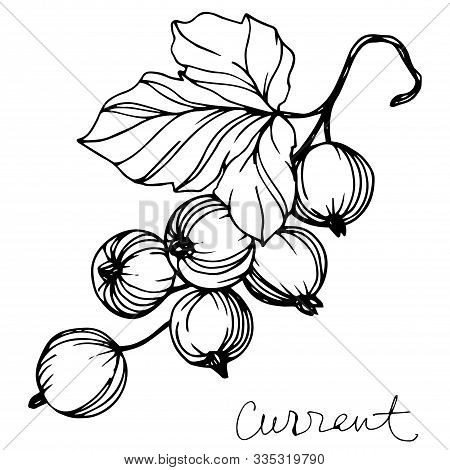 Vector Currant Healthy Food. Black And White Engraved Ink Art. Isolated Strawberry Illustration Elem