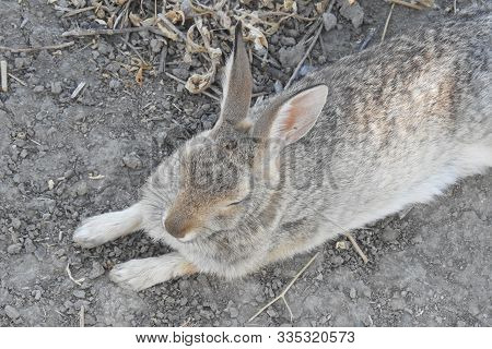 Desert Cottontail Rabbit, Merced National Wildlife Refuge, Northern San Joaquin Valley, Central Cali