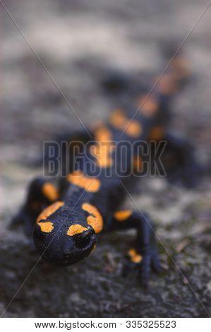 Black And Yellow Fire Salamander (salamander Salamander)