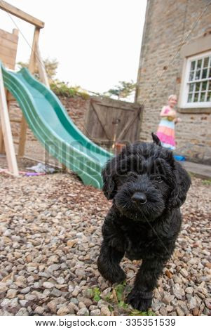 An Inquisitive Young Labradoodle Puppy Looking Into The Camera