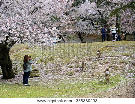 Deer At Nara Park (japan) In The Cherry Blossom