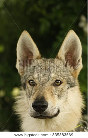A Czechoslovakian Wolfdog (canis Lupus Familiaris) Female Portrait With Green Background. Part Of Wo
