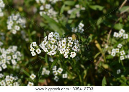 Sweet Alyssum Snow Cloth - Latin Name - Lobularia Maritima Snow Cloth (alyssum Maritimum Snow Cloth)