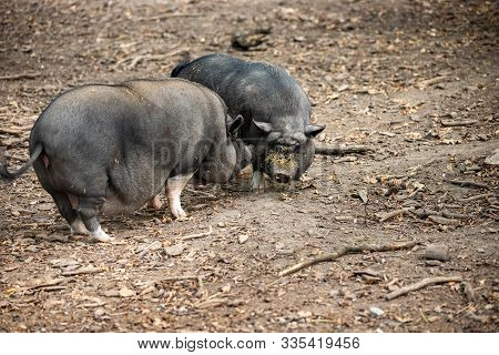 Full Body A Pair Of Adult Black Vietnamese Pot-bellied Pigs On The Farm. Photography Of Lively Natur